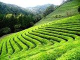 Pure Darjeeling van Pelikaan 250 gr._